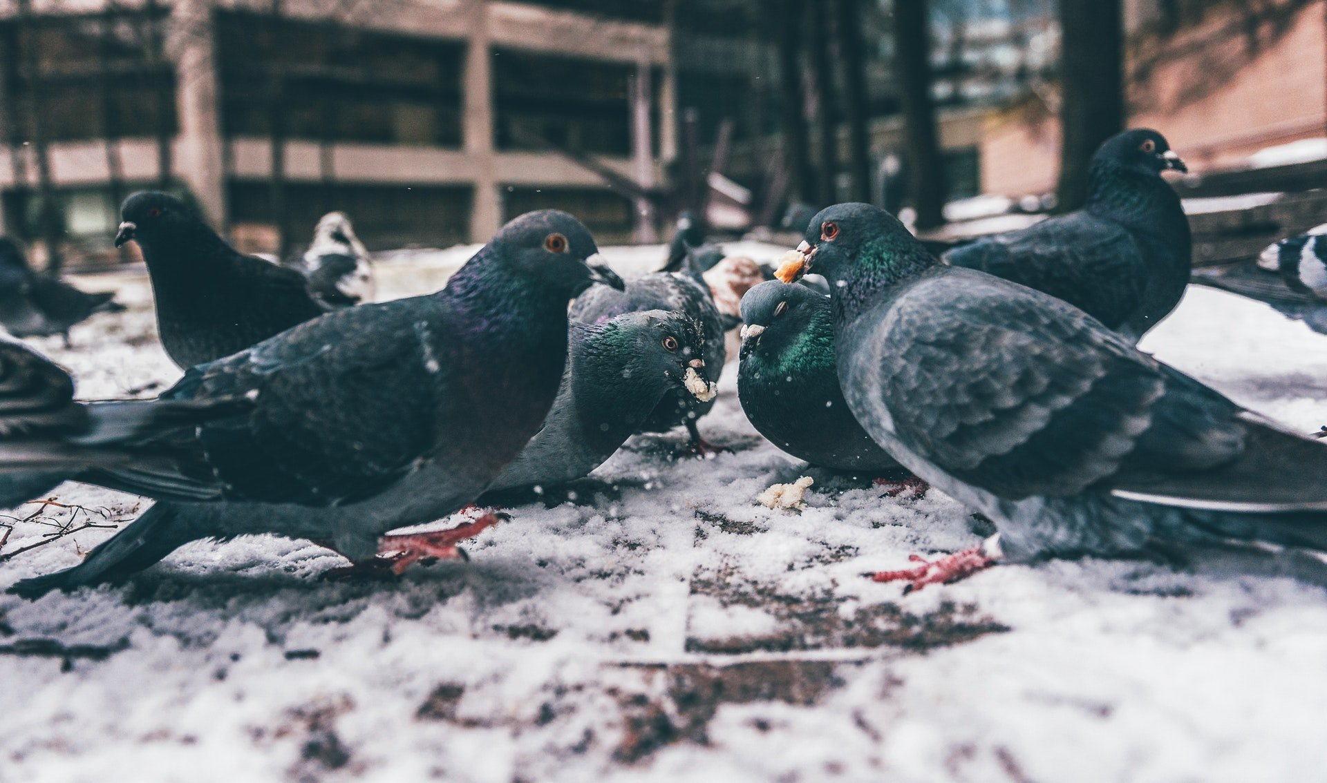 Significance of Pigeons Coming To Your House